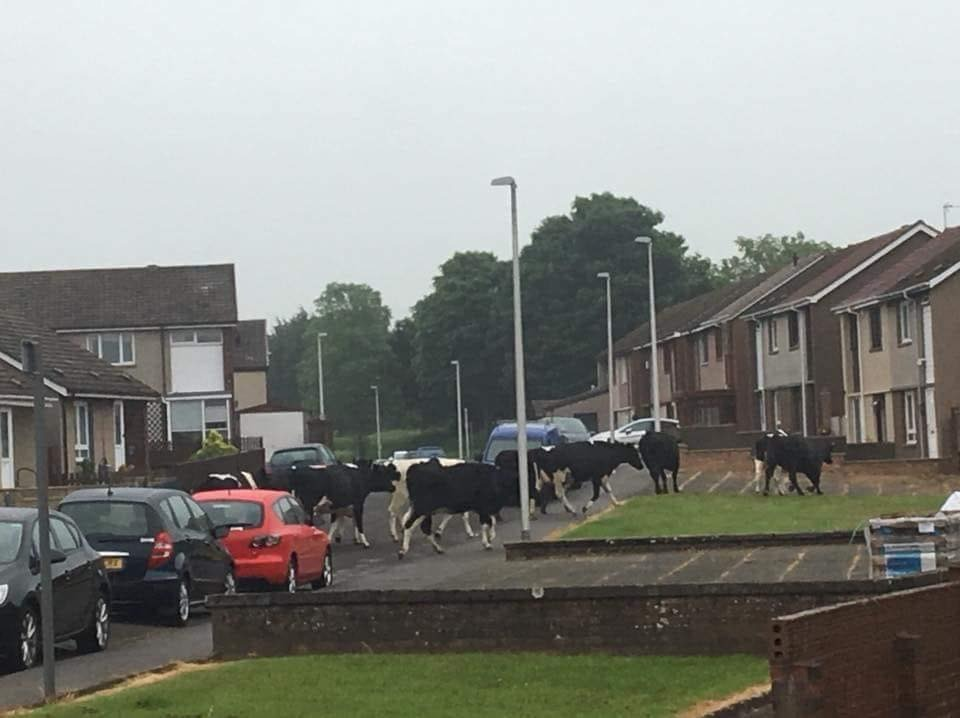 The cows in Park Street, Crosshill.